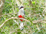 Cayo Saetía. Cuban trogon, national bird